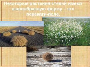 Некоторые растения степей имеют шарообразную форму – это перекати-поле.