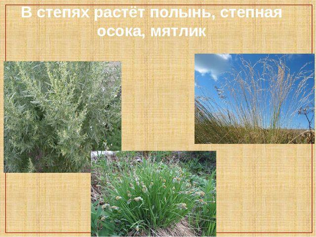 В степях растёт полынь, степная осока, мятлик
