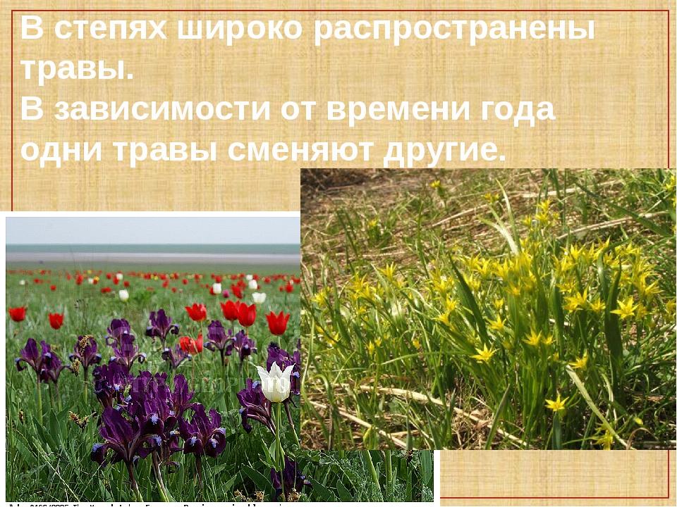 В степях широко распространены травы. В зависимости от времени года одни трав...