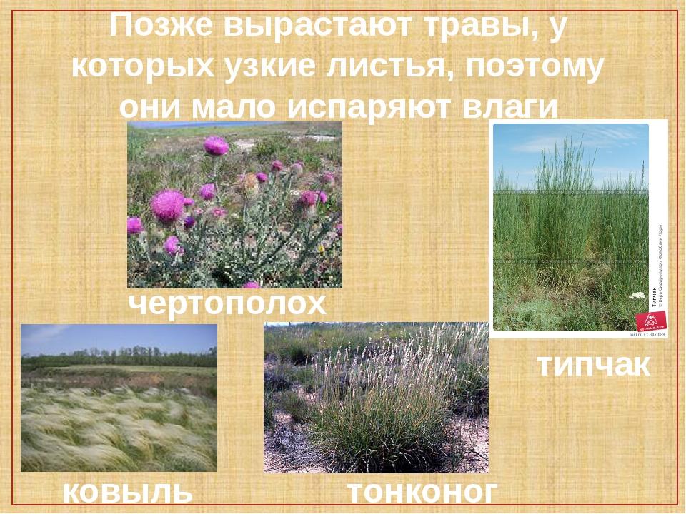 Позже вырастают травы, у которых узкие листья, поэтому они мало испаряют влаг...