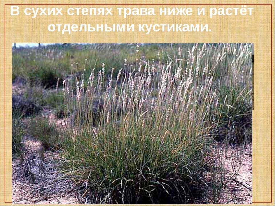 В сухих степях трава ниже и растёт отдельными кустиками.