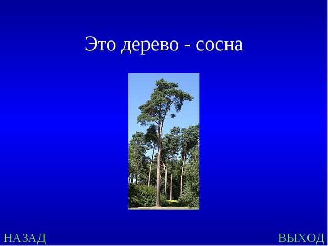 НАЗАД ВЫХОД Это дерево - сосна