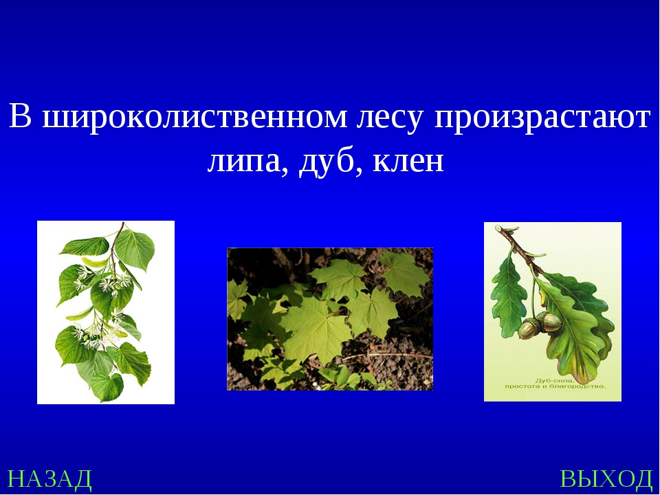 НАЗАД ВЫХОД В широколиственном лесу произрастают липа, дуб, клен