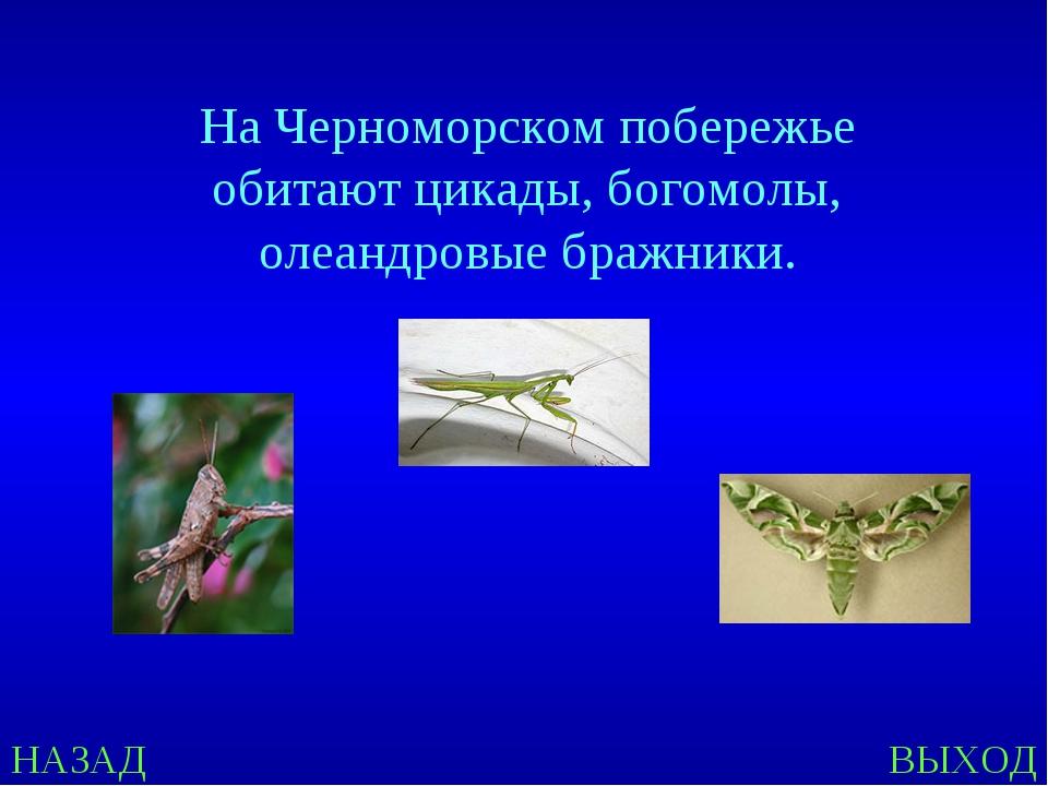НАЗАД ВЫХОД На Черноморском побережье обитают цикады, богомолы, олеандровые б...