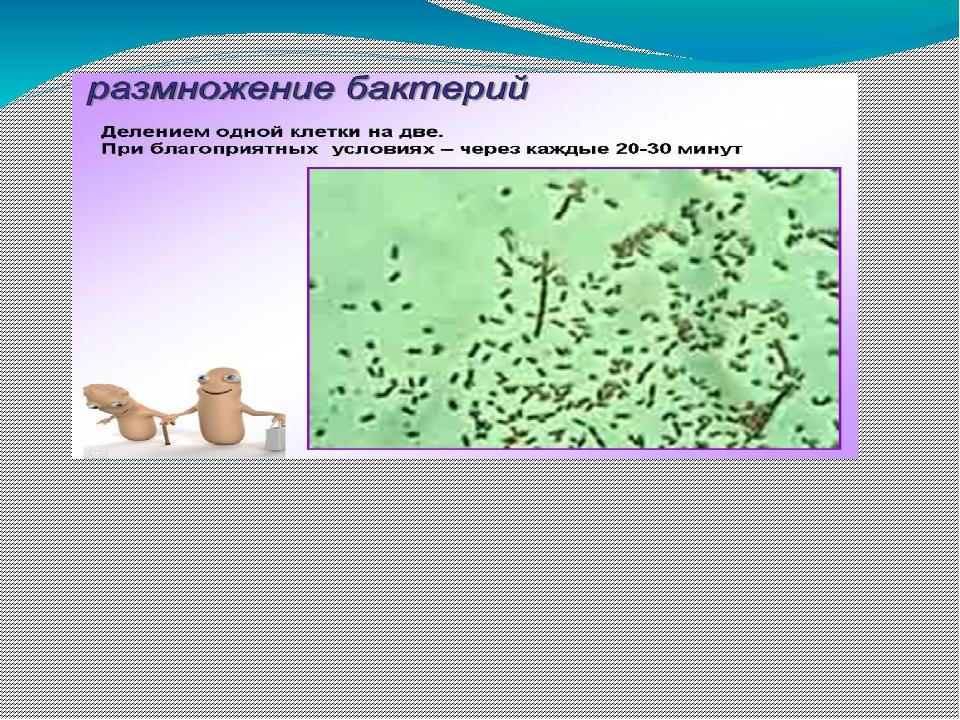 Способов, как размножаются бактерии, не так уж и много: простое деление, поч...