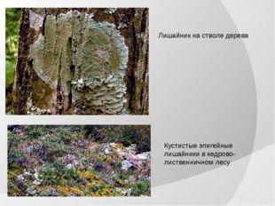 Лишайник на стволе дерева Кустистые эпигейные лишайники в кедрово-лиственничн