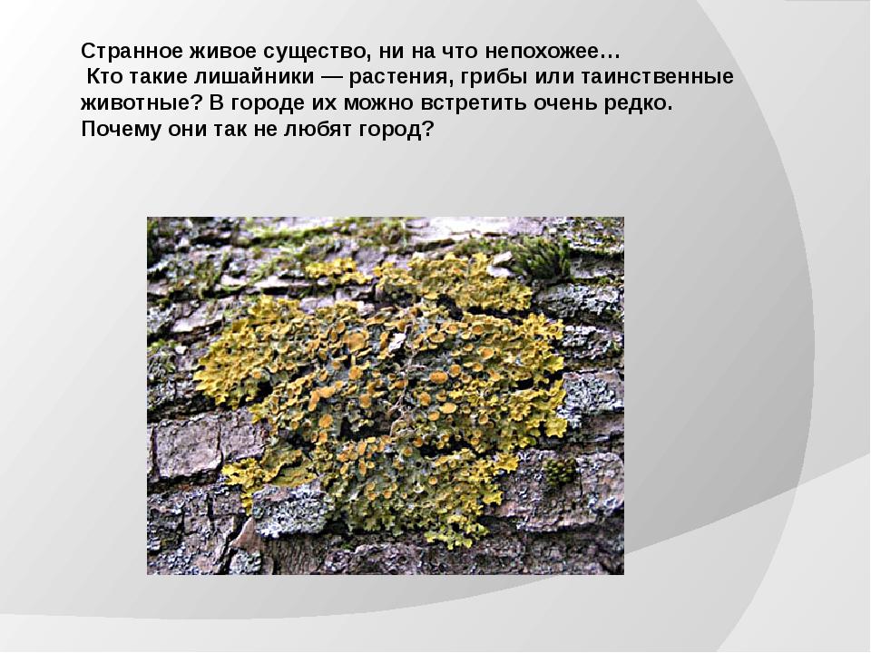 Странное живое существо, ни на что непохожее… Кто такие лишайники — растения,...