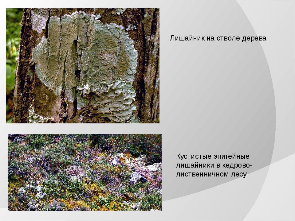 Лишайник на стволе дерева Кустистые эпигейные лишайники в кедрово-лиственничн...