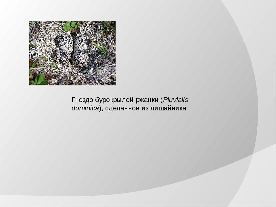 Гнездо бурокрылой ржанки (Pluvialis dominica), сделанное из лишайника