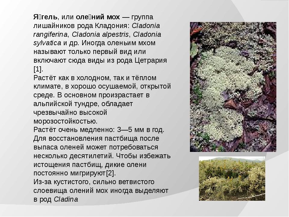 Я́гель, или оле́ний мох— группа лишайников рода Кладония: Cladonia rangiferi...