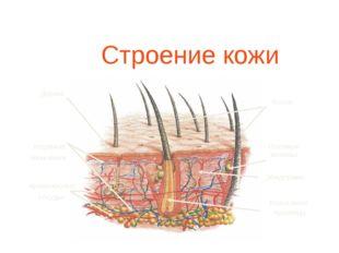 Строение кожи Дерма Волос Волосяная луковица Нервные окончания Кровеносные с