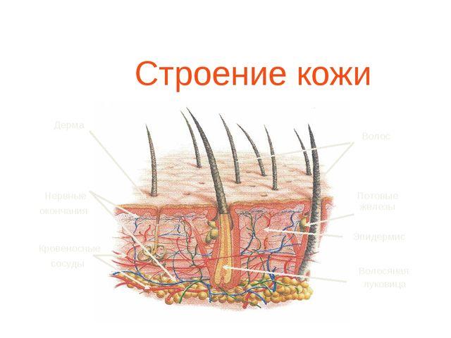 Строение кожи Дерма Волос Волосяная луковица Нервные окончания Кровеносные с...