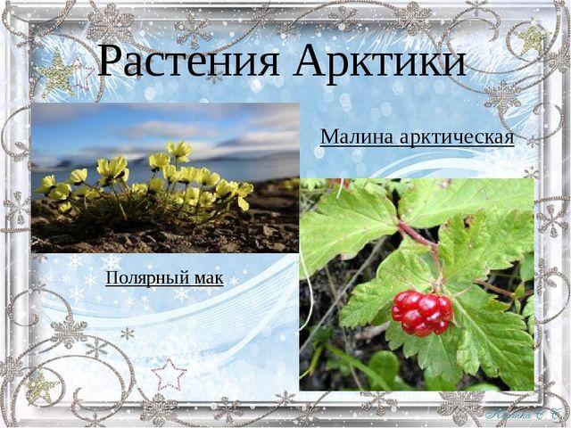 Растения Арктики Малина арктическая Полярный мак