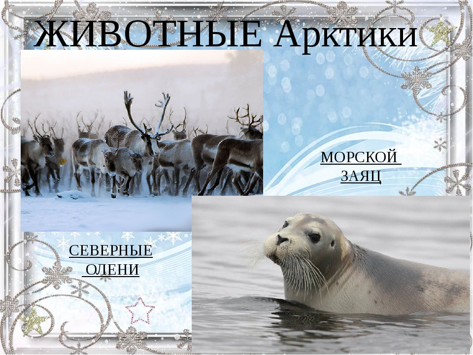 СЕВЕРНЫЕ ОЛЕНИ МОРСКОЙ ЗАЯЦ ЖИВОТНЫЕ Арктики