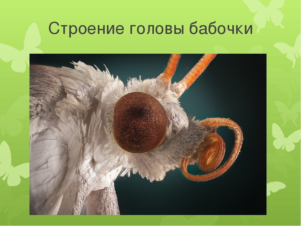 Строение головы бабочки