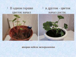 вторая неделя эксперимента В одном горшке цветок начал погибать в другом - цв
