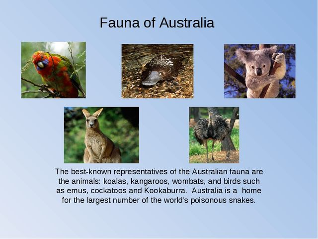 The best-known representatives of the Australian fauna are the animals: koala...