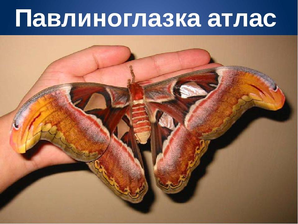 Павлиноглазка атлас