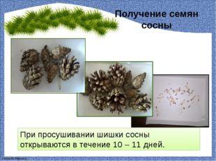 Получение семян сосны При просушивании шишки сосны открываются в течение 10 –
