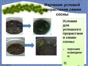 Изучение условий прорастания семян сосны Условия для успешного прорастания се