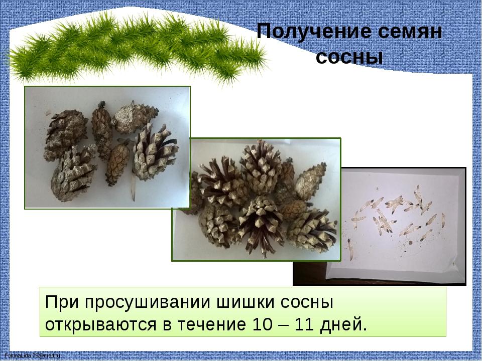 Получение семян сосны При просушивании шишки сосны открываются в течение 10 –...