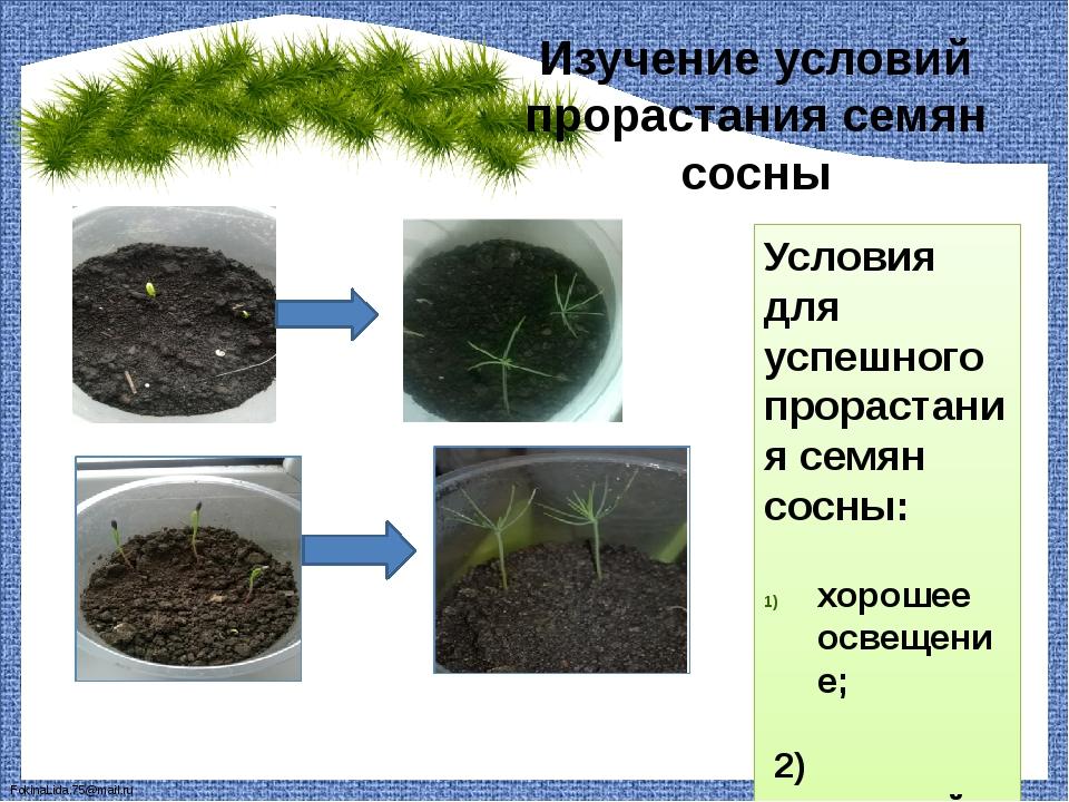 Изучение условий прорастания семян сосны Условия для успешного прорастания се...