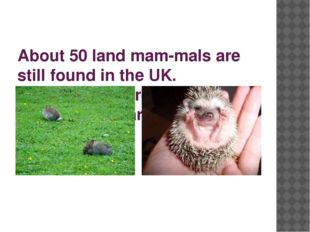 About 50 land mam­mals are still found in the UK. Hedgehogs, hares, rabbits,