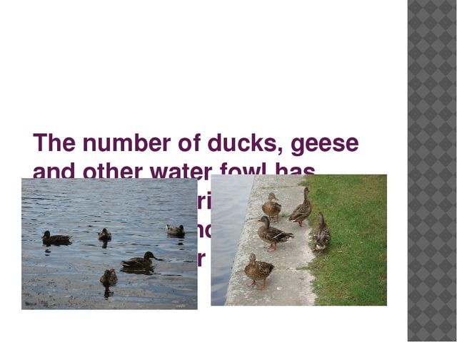The number of ducks, geese and other water fowl has diminished during recent...