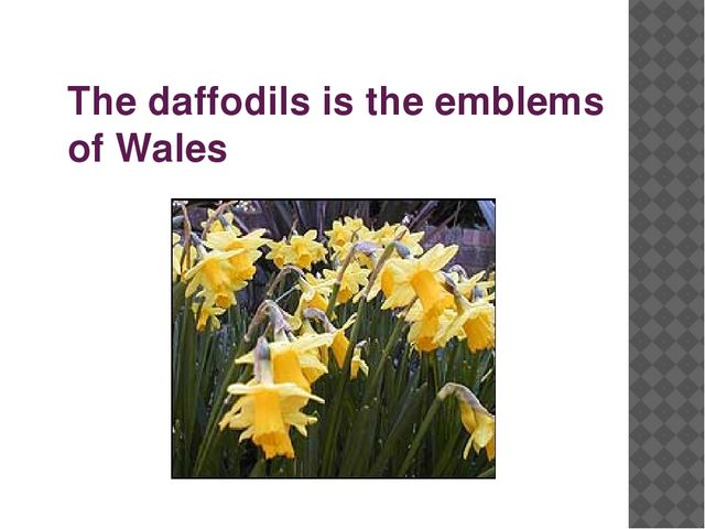 The daffodils is the emblems of Wales