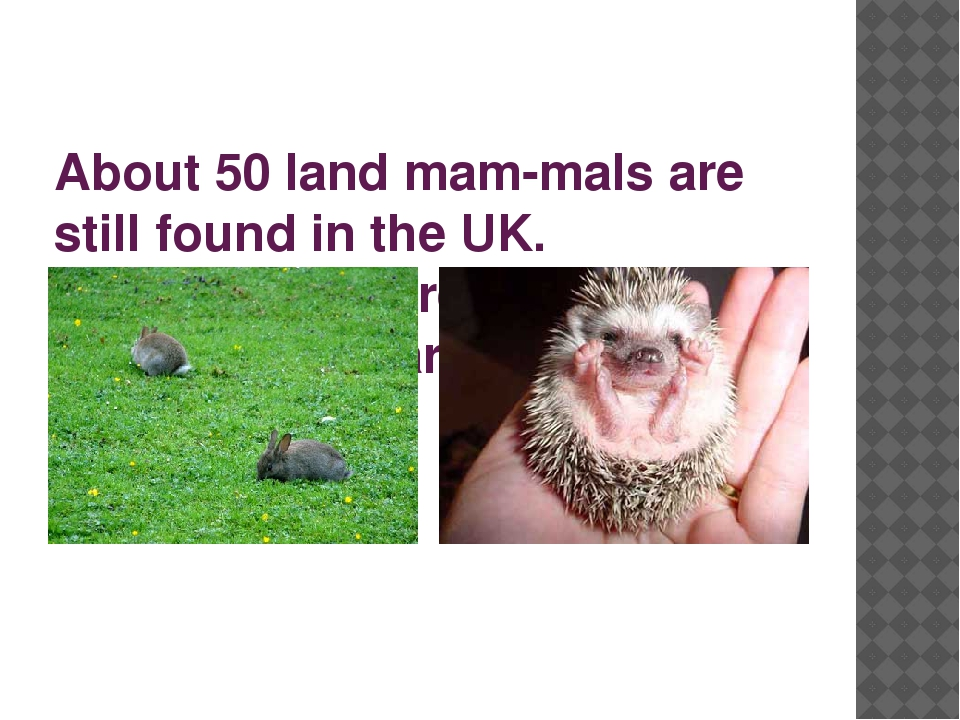 About 50 land mam­mals are still found in the UK. Hedgehogs, hares, rabbits,...