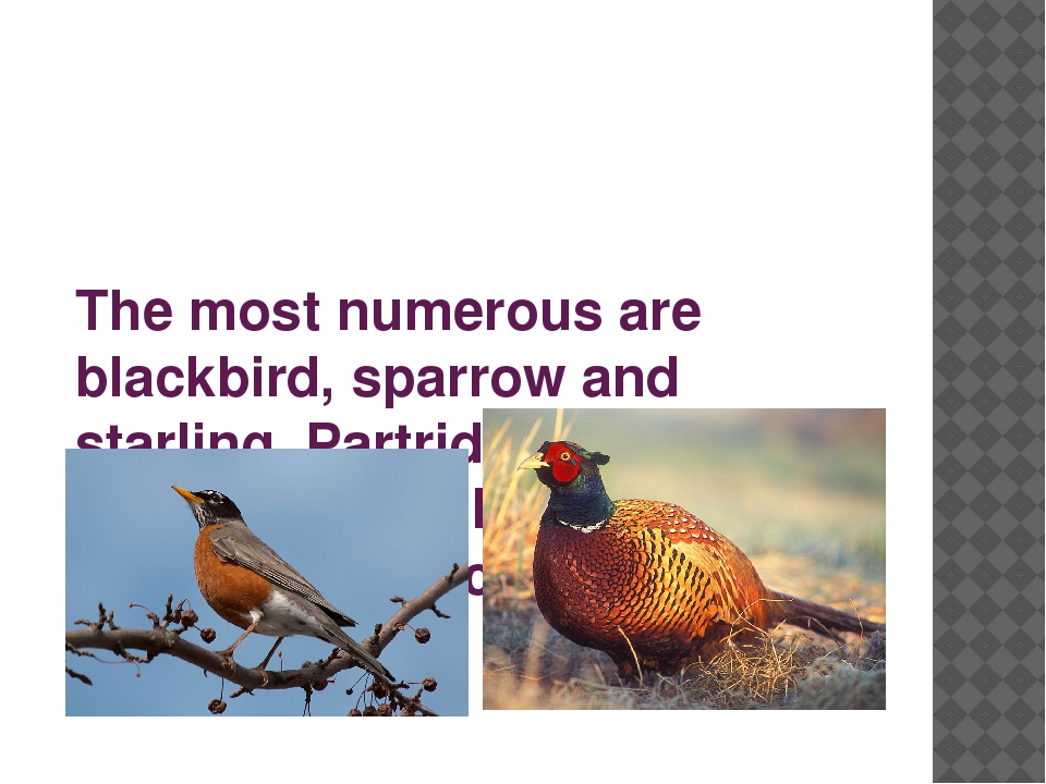 The most numerous are blackbird, sparrow and starling. Partridges, pheasants...