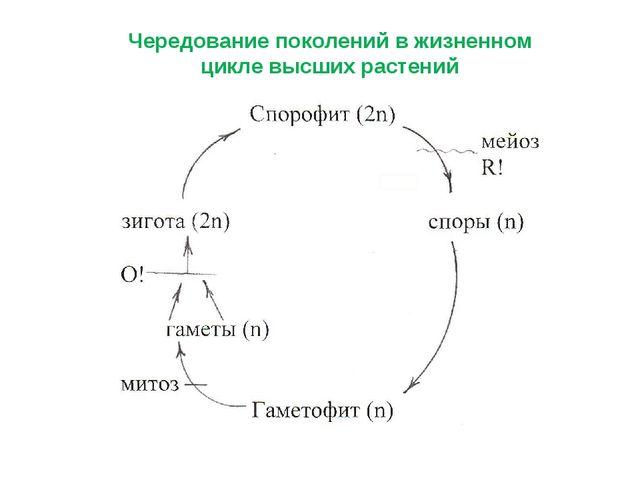 Чередование поколений в жизненном цикле высших растений
