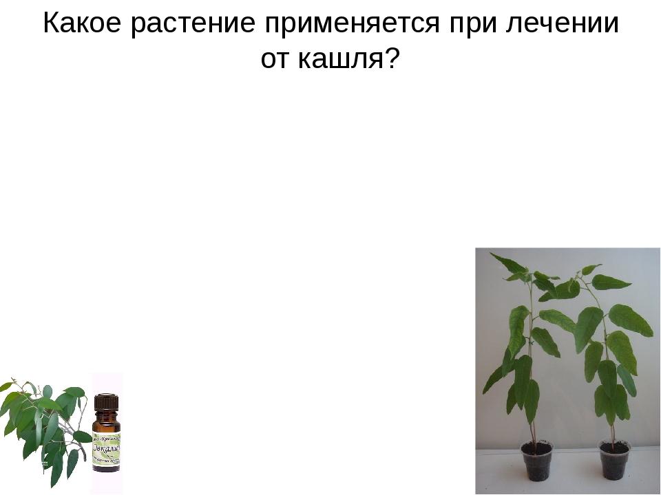 Какое растение применяется при лечении от кашля?