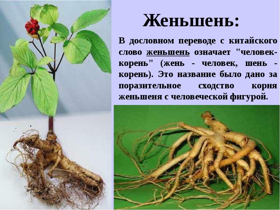 """В дословном переводе с китайского слово женьшень означает """"человек-корень"""" (ж..."""