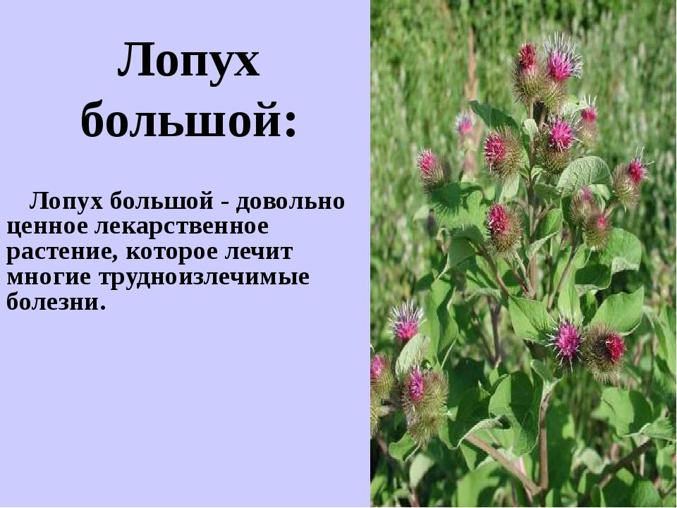 Лопух большой - довольно ценное лекарственное растение, которое лечит многие...