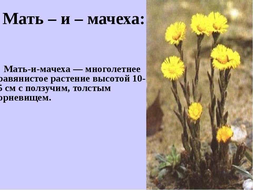 Мать-и-мачеха — многолетнее травянистое растение высотой 10-25 см с ползучим...