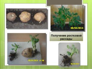 Получение ростковой рассады