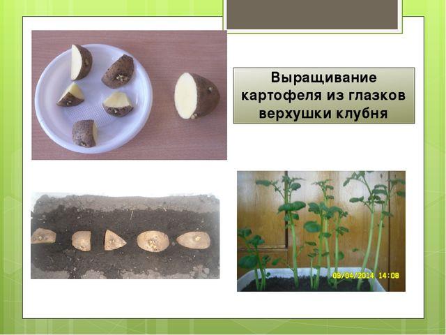 Выращивание картофеля из глазков верхушки клубня
