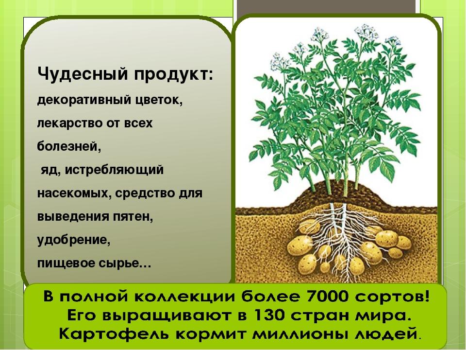 Чудесный продукт: декоративный цветок, лекарство от всех болезней, яд, истреб...