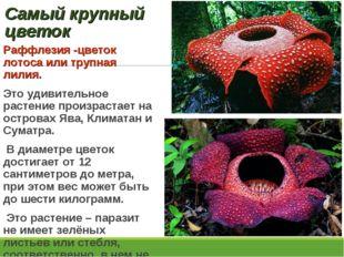 Самый крупный цветок Раффлезия -цветок лотоса или трупная лилия. Это удивител