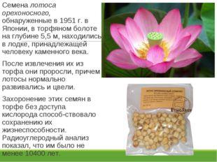 Семена лотоса орехоносного, обнаруженные в 1951 г. в Японии, в торфяном болот