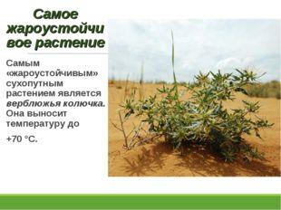Самым «жароустойчивым» сухопутным растением является верблюжья колючка. Она в