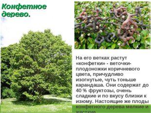 Конфетное дерево. На его ветках растут «конфетки» - веточки-плодоножки коричн