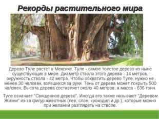 Рекорды растительного мира Дерево Туле растет в Мексике. Туле - самое толстое