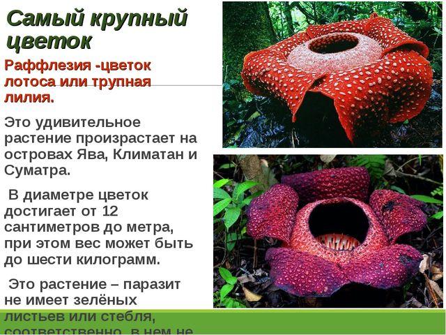 Самый крупный цветок Раффлезия -цветок лотоса или трупная лилия. Это удивител...