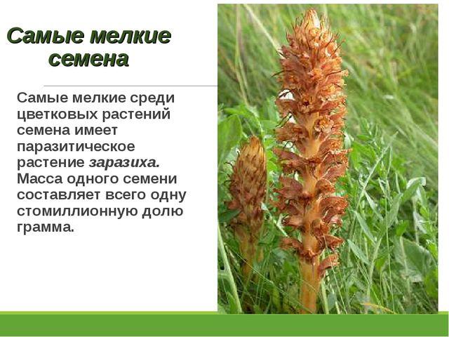 Самые мелкие семена Самые мелкие среди цветковых растений семена имеет парази...