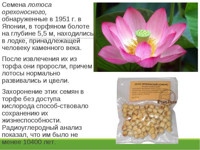 Семена лотоса орехоносного, обнаруженные в 1951 г. в Японии, в торфяном болот...