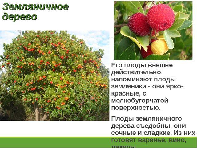 Земляничное дерево Его плоды внешне действительно напоминают плоды земляники...