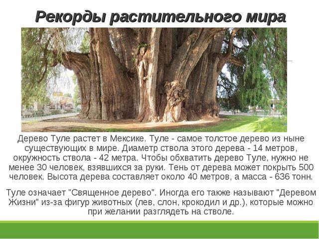 Рекорды растительного мира Дерево Туле растет в Мексике. Туле - самое толстое...