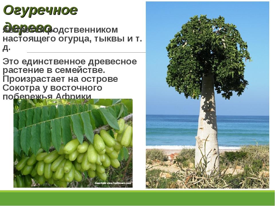 Огуречное дерево. является родственником настоящего огурца, тыквы и т. д. Это...